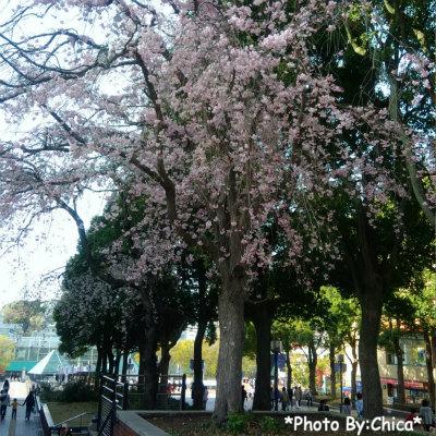 多摩センター付近の桜♪