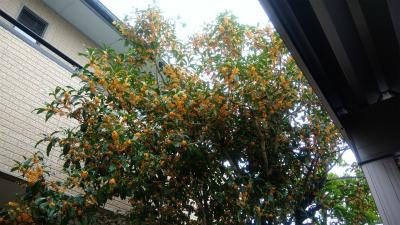 キンモクセイの花は秋の楽しみ♪